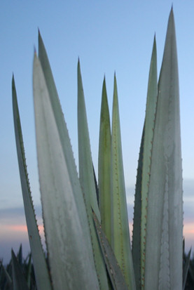 In Search of the Blue Agave