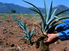 In Search Of The Blue Agave Cultivating Agave For Tequila